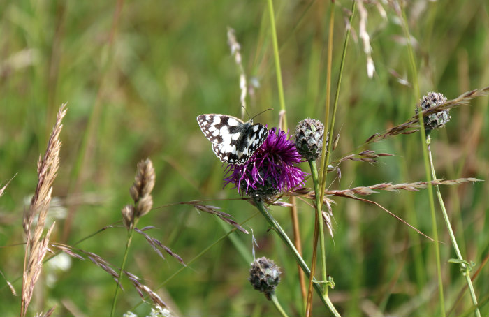 st margaret's bay kent walking along the cliff butterfly thistle