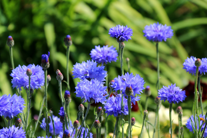 st margaret's bay kent deale walmer castle english heritage garden cornflowers