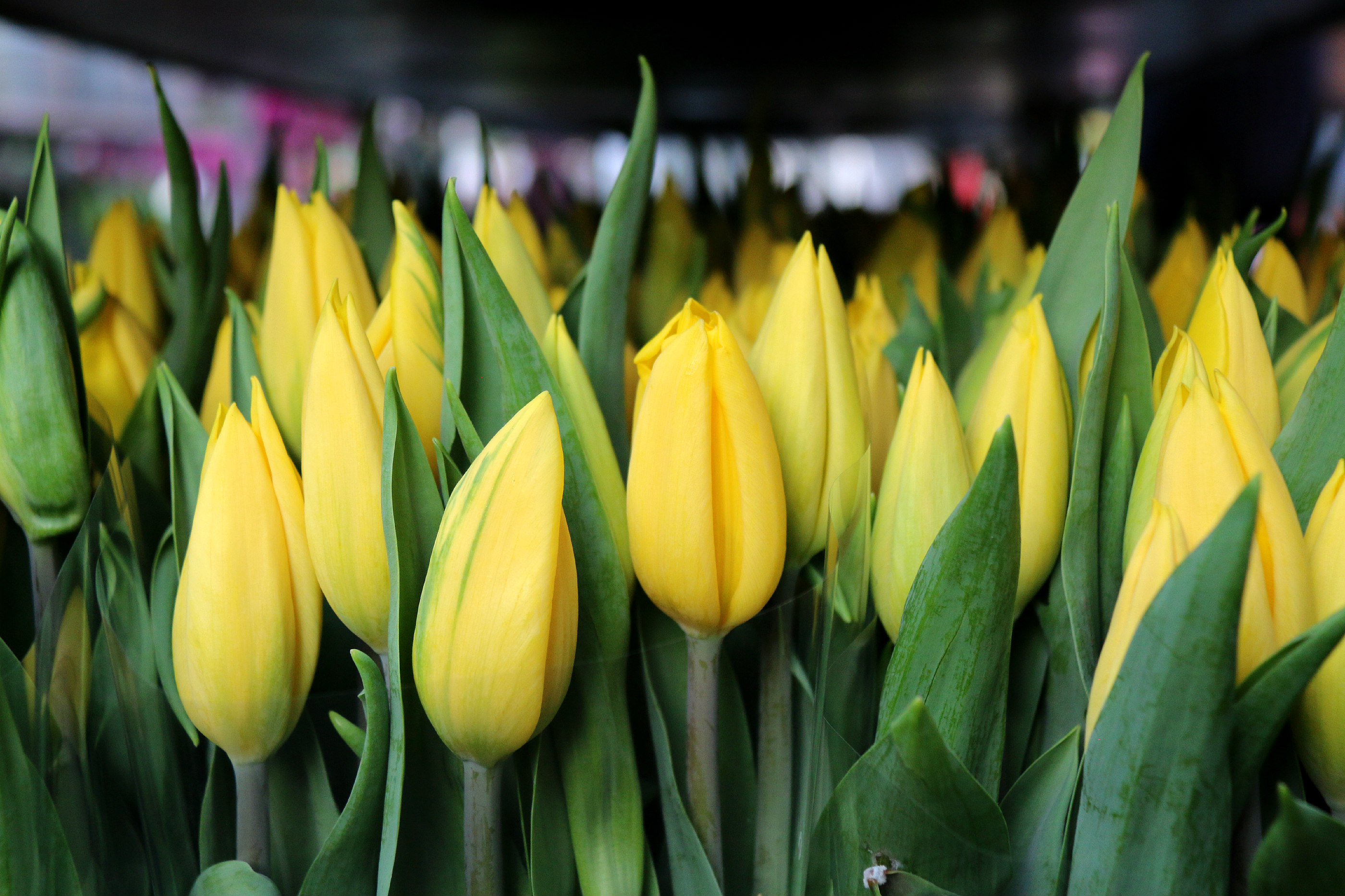 Columbia Road Flower Market London tulips 2